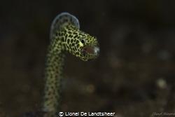 Date Taken: 3-09-2014 Title: Eel Yawning  Not Crop  Hou... by Lionel De Landtsheer