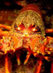Cray fish little barrier island new zealand. by Jayne Dennis