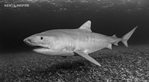 Emma the TigerShark glides just above the seagrass Such ... by Ken Kiefer