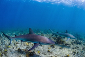 Reef sharks in formation by Paul Colley