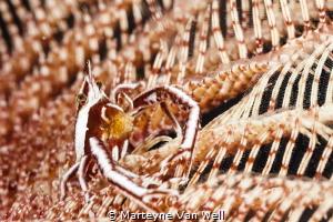 A proud Crinoid Squat Lobster by Marteyne Van Well