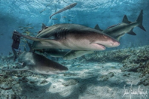 Lemon shark love at Tiger Beach Bahamas by Steven Anderson