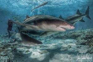 Lemon shark love at Tiger Beach Bahamas by Steven Anderson