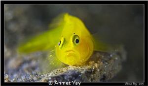 Yellow Pygmy Goby, Lubricogobius exiguus Anilao, 2013 C... by Ahmet Yay
