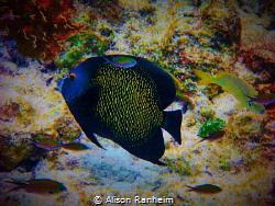 Bonaire Angelfish by Alison Ranheim
