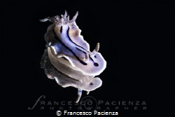 Chromodoris villanii by Francesco Pacienza