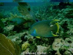 Blue Angle Fish and Stop light Parrot fish passing through by Steven Daniel