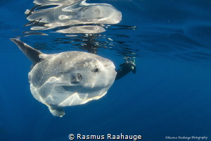 Nice and friendly Mola Mola off the Coast of California n... by Rasmus Raahauge
