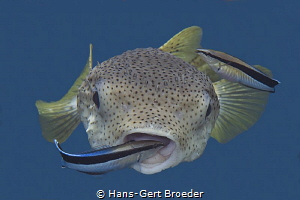 Porcupine puffer, cleaner fish Bunaken island Cleaner f... by Hans-Gert Broeder