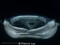 Manta Night Dive by Francis Lau