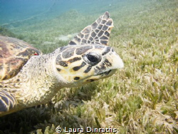 Hawksbill turtle swimming over seagrass by Laura Dinraths