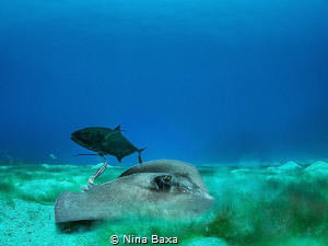 Partners - little male Southern Stingray and his Bar Jack... by Nina Baxa