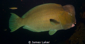 Bumphead on nightdive by James Laker