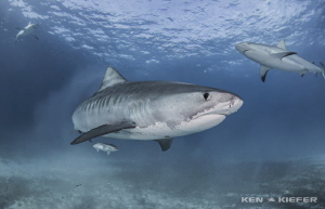 Tiger Shark with some Reef Shark buddies