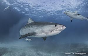 Tiger Shark with some Reef Shark buddies Tiger Beach, Ba... by Ken Kiefer