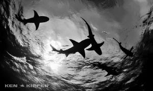 Reef Sharks overhead by Ken Kiefer