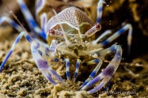 Ghost Shrimp by Marco Gargiulo