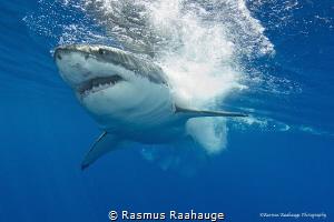 True power from a top predator by Rasmus Raahauge