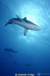 Silky sharks encounter at Roca Partida in Revillagigedos ... by Iskander Itriago