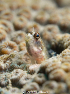 Curiosity ... Parablennius sp. Ang Thong, Gulf of Thailan... by Stefan Follows