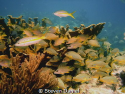 Marathon Key,Florida Elkhorn oral yellowtails and snappers by Steven Daniel