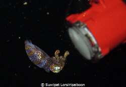 "This ""baby squid"" was shot around HTMS Prab Wreck around ... by Suwipat Lorsiripaiboon"