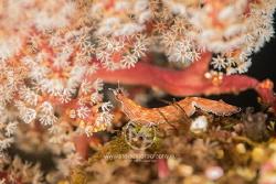 Nudibranch (thuridilla gracilis) on a coral by Arno Enzo