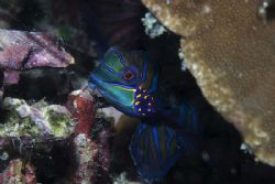 Manadarin Fish. This was one of a pair that seemed to be ... by Simon Trickett
