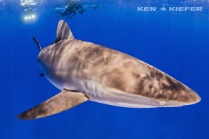 Silky Shark inches from my dome. He came to investigate ... by Ken Kiefer