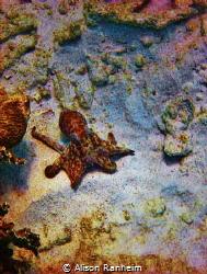 Sweet little Octopus, quite friendly... Bonaire. by Alison Ranheim