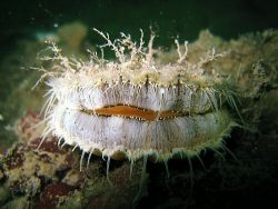 Baby king scallop in Loch Hyne. I know its not the Irish ... by Dawn Watson