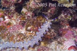 Blue dragon nudibranch. Back wall of Molokini crater, Mau... by Patrick Reardon