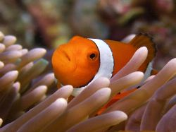 Nemo-Great Barrier Reef c5060 Light and Motion housing by Joshua Miles
