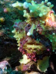 clown frogfish, malapascua island, cebu, philippines - ol... by Carlos Munda