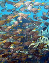 School of Bullseye, Ningaloo Reef by Penny Murphy