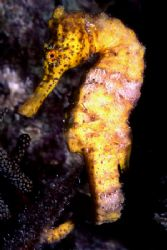 Yellow Seahorse in Bon-Aire by David Spiel