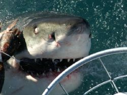 Great White, taken off Dyer Island from top deck of shark... by Peter Fields