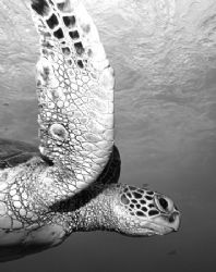 Yet another Hawaiian Green Sea Turtle up close. by Glenn Poulain