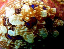 Beautiful Nudibranch detail. Alderman Islands, New Zealand. by Jayne Dennis