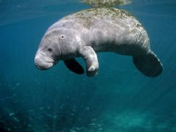 Floating Manatee.Olympus C-5050,Ikelite Housing,WA Lens. by Ray Eccleston