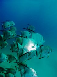 """Spade fish outside """"Sharks Cave"""" near Dangriga in souther... by Martin Spragg"""
