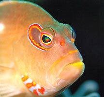Arc-eye hawkfish taking a break taken with Olympus 4040 w... by Tony Otion