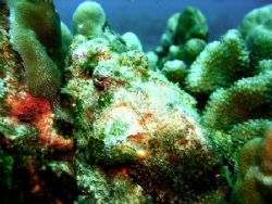 scorpionfish on the pipe, right outside of kewalo basin, ... by Elizabeth Chase