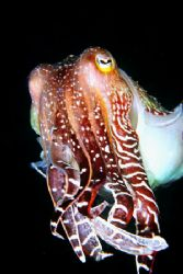 Giant Cuttlefish - picture was taken during a nigth dive.... by Depaulis Carlo