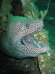 """""""Fred"""". a black-spotted moray who lives in the Enterprise... by Peter Fields"""