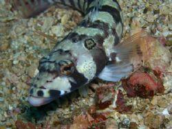 Lizardfish Dive Site Mainit Anilao Batangas by Ernesto Yu
