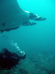 Martin tickeling a manta on it's belly by Brenda Van Gestel