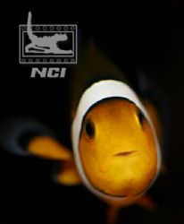"clownfish wondering ""what are you"" 