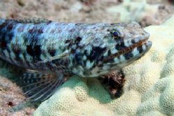 'Ualae' - Lizardfish this a.m. west shore...where else. N... by Glenn Poulain