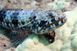 'Ualae' - Lizardfish this a.m. west shore...where else. N... by Glenn Poulain